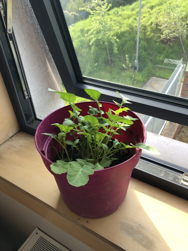 Ronan's 4th - Pansies they're growing in class